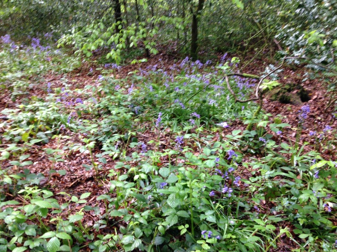 BLUEBELLS ETC 084